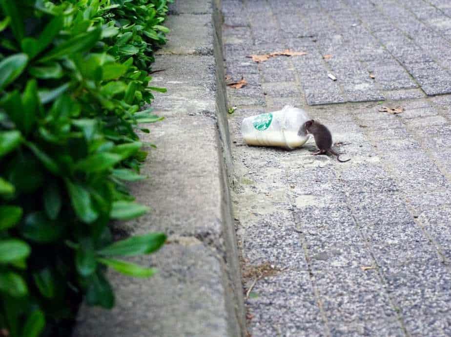 A rat on the street